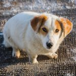 Homöopathie für Hunde – Behandlungsmöglichkeiten bei Lebererkrankungen