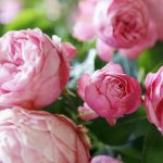 Pfingstrosen pflanzen, Kräuter aussäen - was ist im Frühherbst zu tun?