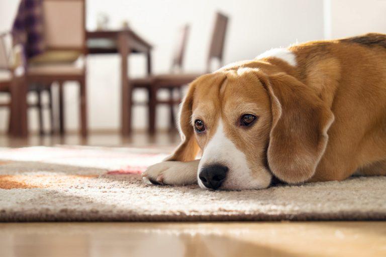 Mit Homöopathie bei Hunden die Angst vor dem Alleinsein behandeln