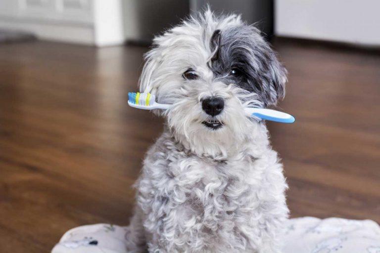 Mit Homöopathie Zahnstein beim Hund vorbeugend behandeln