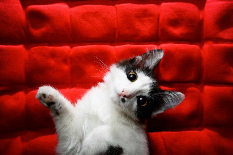 Epilepsie bei Katzen erkennen