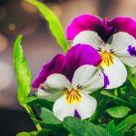 Hornveilchen – Pflanzentipp für den Herbst