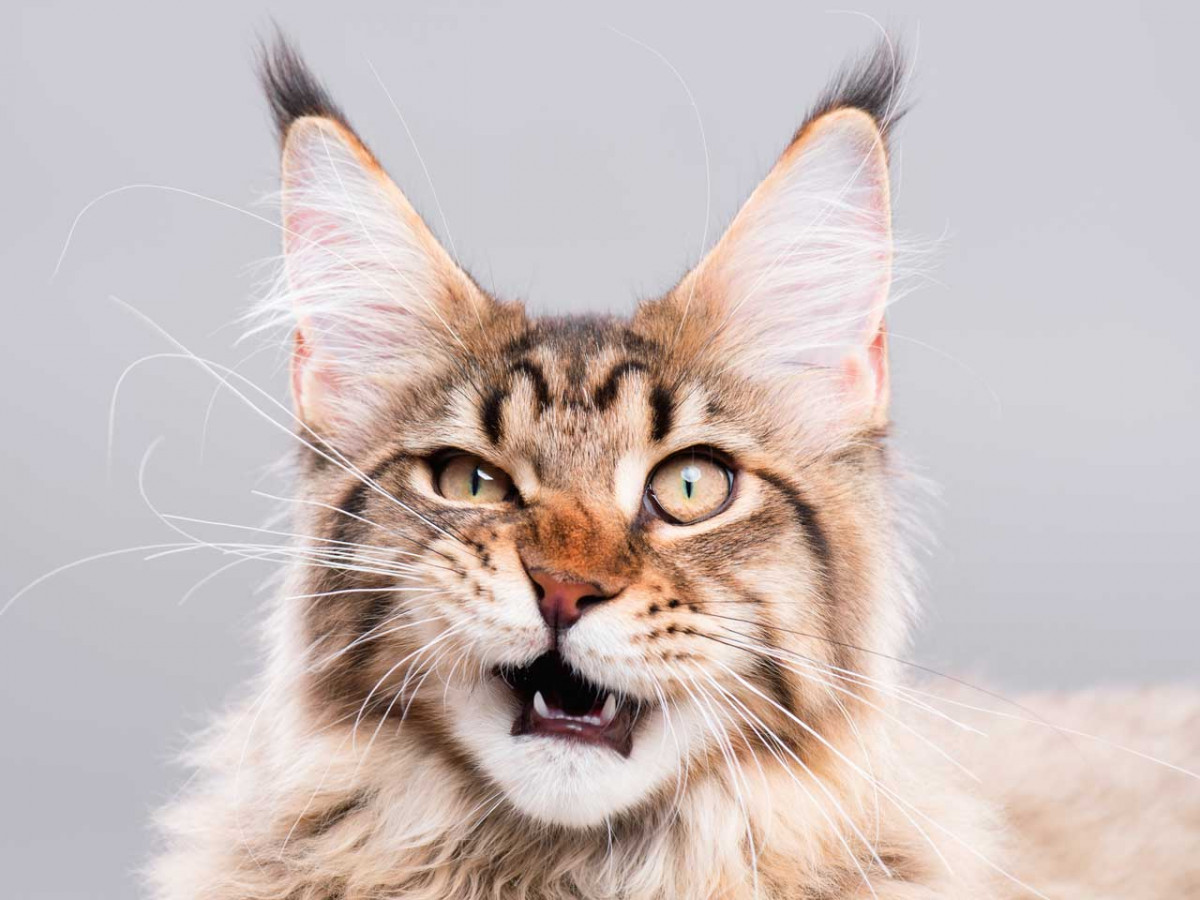 Rhinitis bei Katzen – Homöopathie hilft bei der Heilung