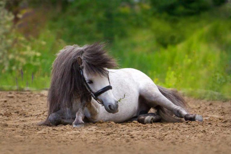 Kolik beim Pferd mit homöopathischen Mitteln behandeln