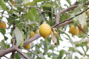 Was tun, wenn Ihr Zitronenbäumchen die Blüte verweigert?