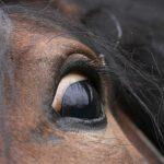Schreckhaftigkeit beim Pferd homöopathisch beeinflussen
