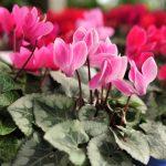 Alpenveilchen pflegen – Zimmerpflanzenklassiker und wilde Schönheit