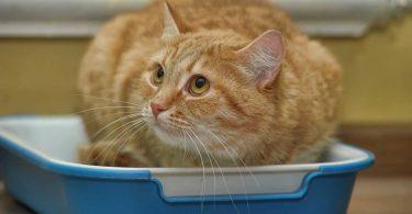 Verstopfung bei der Katze homöopathisch behandeln