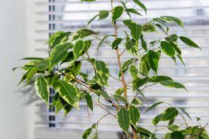 Mit diesen Tipps halten Sie Ficus benjamina gesund und saftig grün