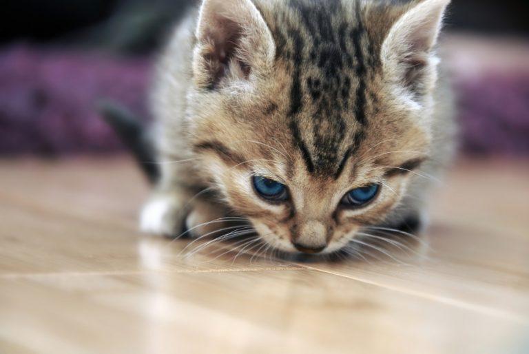 Schnupfen bei der Katze – Homöopathische Symptome