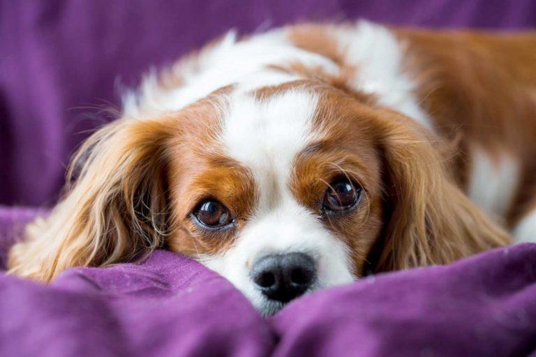 Gebärmuttervereiterung (Pyometra) beim Hund homöopathisch begleiten