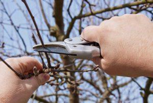 Apfelbaum schneiden: Jetzt wird's konkret
