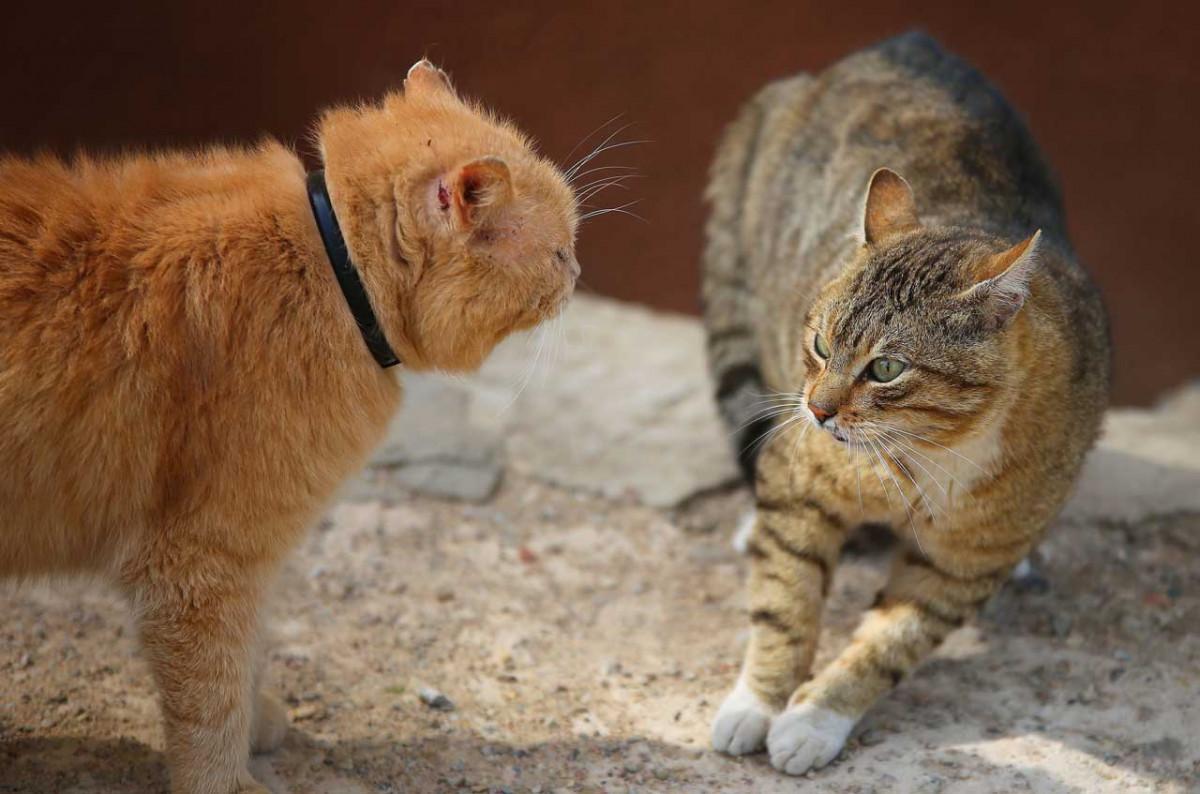 Aggressionen bei Katzen: So vermeiden Sie einen Katzenkrieg