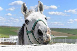 Ohrspeicheldrüsen beim Pferd: Entzündung oder Parotitis behandeln