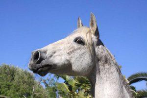 Konstitutionsmittel fürs Pferd: Mit Arsenicum album das Gleichgewicht wiederherstellen
