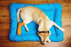 Knochenbruch beim Hund – Homöopathie hilft bei schneller Heilung