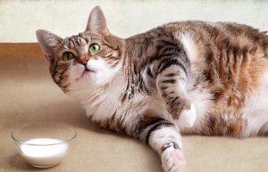 Fettsucht und zu viel Gewicht bei Katzen: Homöopathie kann helfen