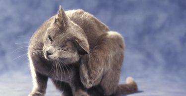 Flohbefall und Flohbisse: Homöopathie kann Katzen helfen