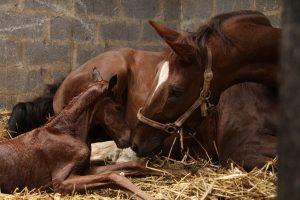 Die Geburt beim Pferd homöopathisch unterstützen