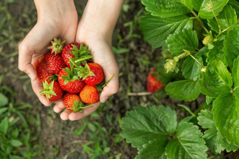 Das sollten Sie bei der Pflege Ihrer Erdbeeren beachten