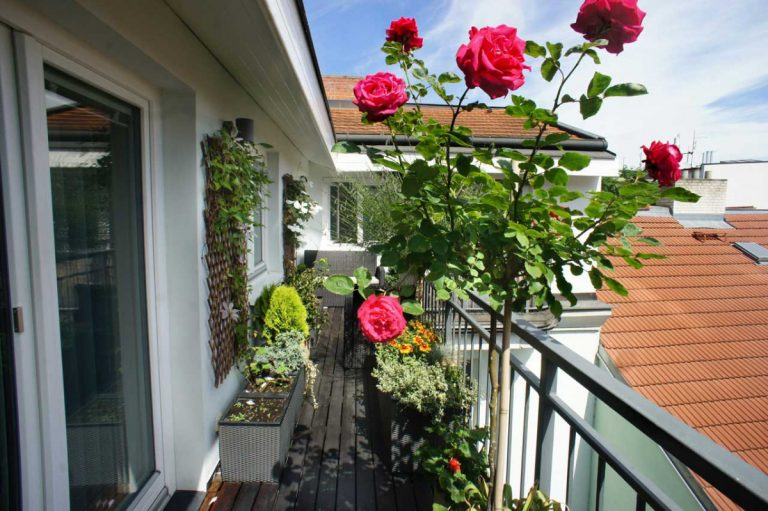 Rosen im Topf gedeihen auch auf dem Balkon