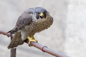 Falco peregrinus (Wanderfalke) als homöopathisches Mittel einsetzen