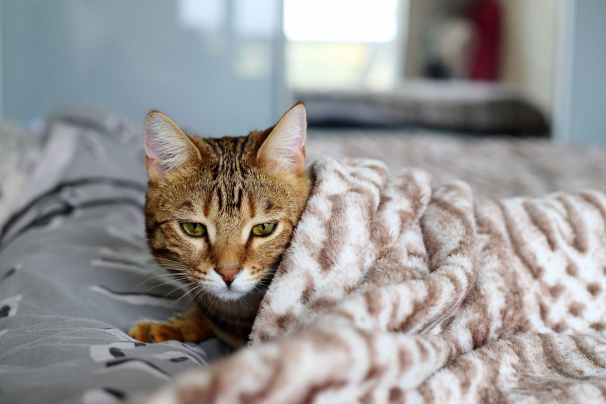 Fieber bei Katzen homöopathisch behandeln