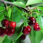 Was Sie beim Kirschbaum schneiden beachten sollten