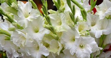Gladiolen richtig pflanzen und pflegen