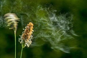 Pollenflug: Reflexzonenmassage gegen Heuschnupfen