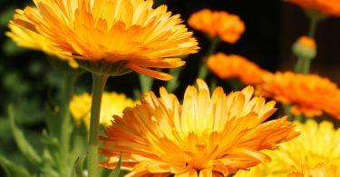 Das homöopathische Calendula einsetzen