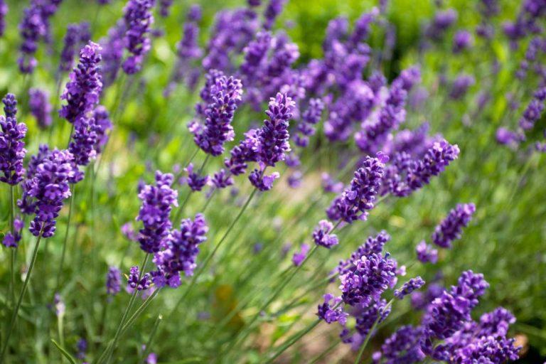 Lavendel-Sommerduft fürs ganze Jahr
