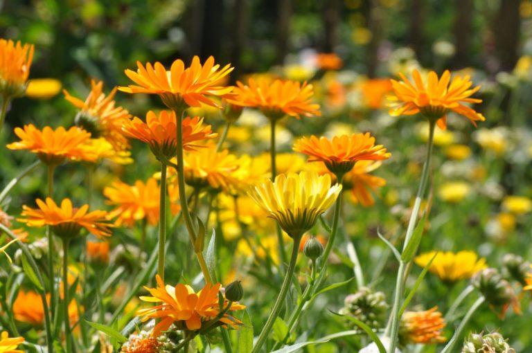 Ringelblumen sorgen für gesunden Boden
