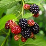 Brombeerblätter verwerten - mehr als nur süße Früchtchen