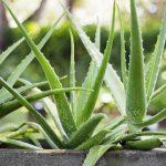 Das ayurvedische Heilmittel Aloe Vera sinnvoll anwenden