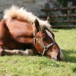 Herzprobleme beim Pferd homöopathisch unterstützen
