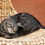 Juckreiz bei Katzen: Verschiedene Auslöser homöopathisch behandeln