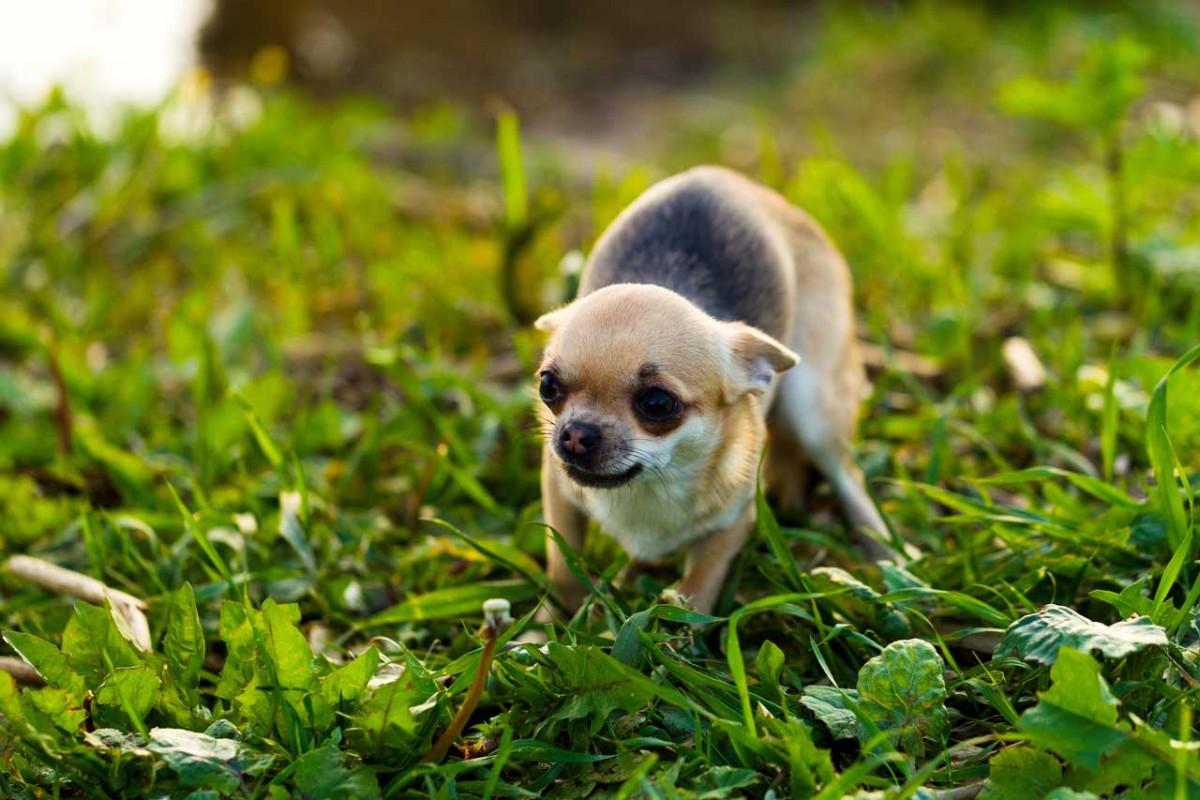 geräuschangst hund homöopathie