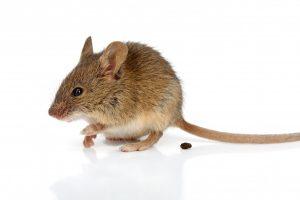 Gefährlicher Mäusekot: Hüten Sie sich vor dem Hanta-Virus