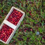 Blasenentzündung – kann die Cranberry Ihnen helfen?
