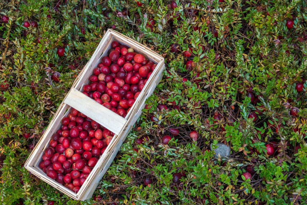 blasenentz ndung kann die cranberry ihnen helfen. Black Bedroom Furniture Sets. Home Design Ideas