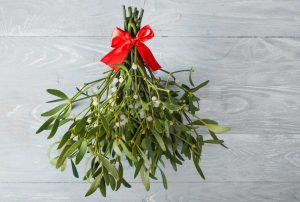 Mistel als Weihnachtsschmuck und Heilpflanze nutzen