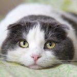 Homöopathie für Katzen bei Erschöpfung nach Unfall, Geburt und Krankheit