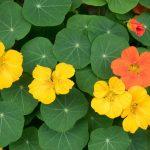 Kapuzinerkresse: Nutzen Sie sie als Heilpflanze und in der Küche