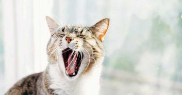 Graphites für Katzen bei Trägheit und Hautkrankheiten