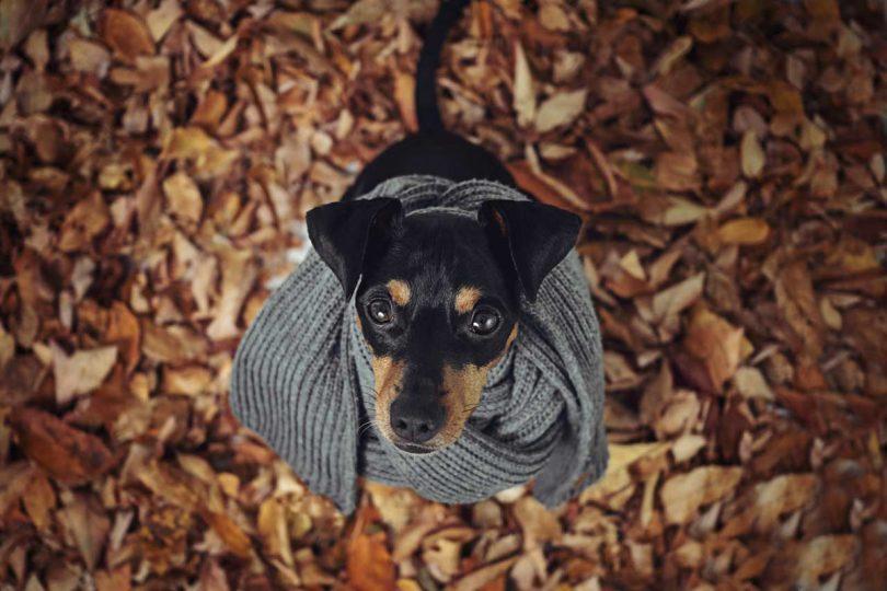 Bryonia hilft Hunden bei Husten, Arthritis oder Rheuma