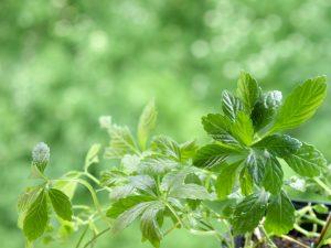 Jiaogulan - Genießen Sie den Tee der Unsterblichkeit