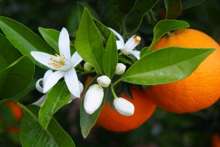 So helfen Ihnen Orangenblüten bei der Entspannung