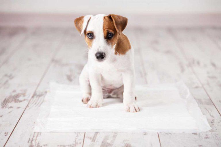So hilft Causticum bei Hunden mit Inkontinenz oder steifem, zittrigen Gang