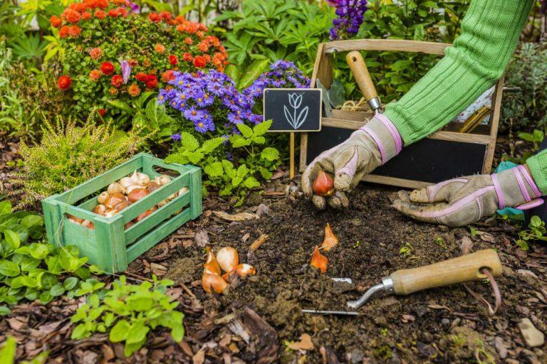 Was tun, damit die Tulpen blühen? – Tipps zur Pflege
